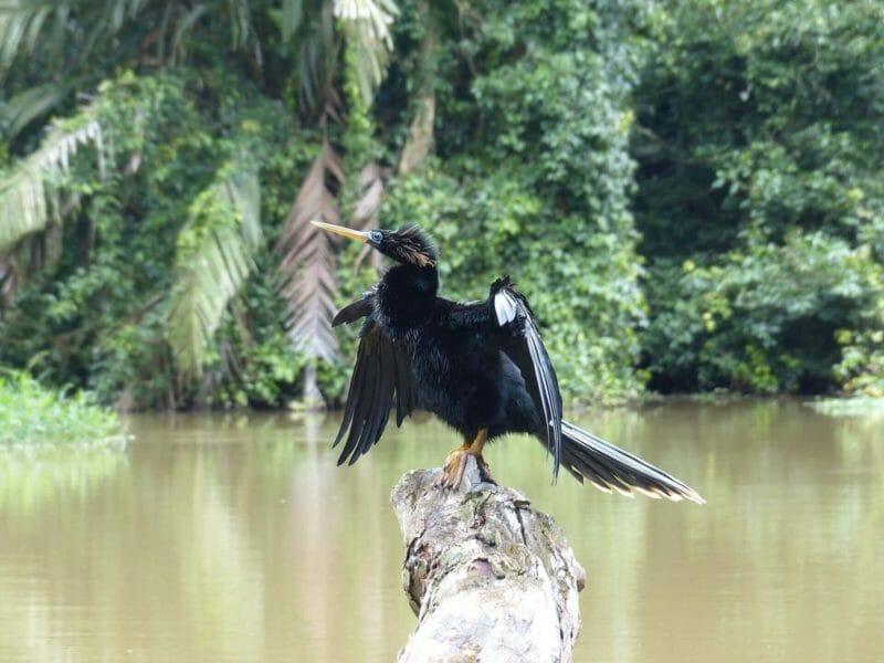 birdwatching in Tortuguero