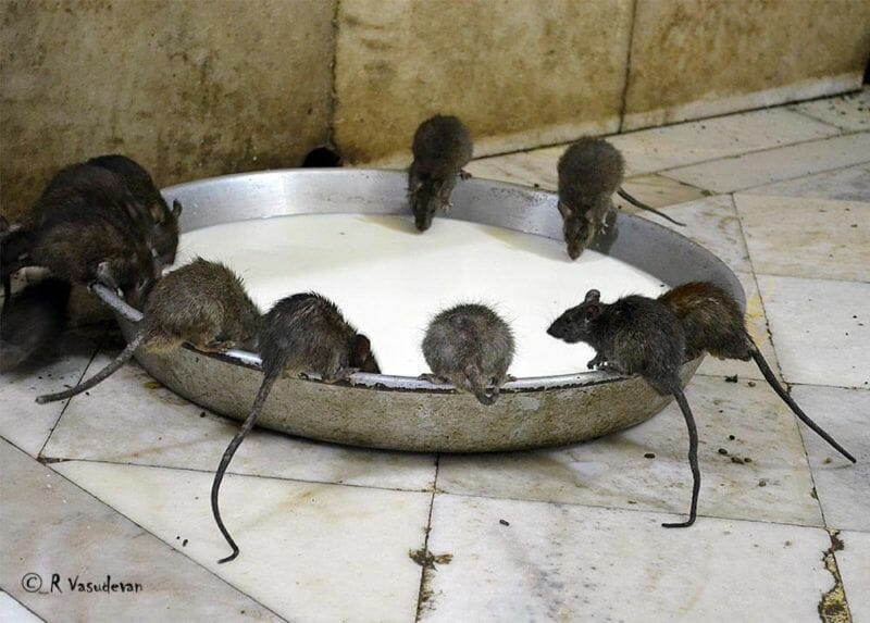 Rat Temple in Rajastan