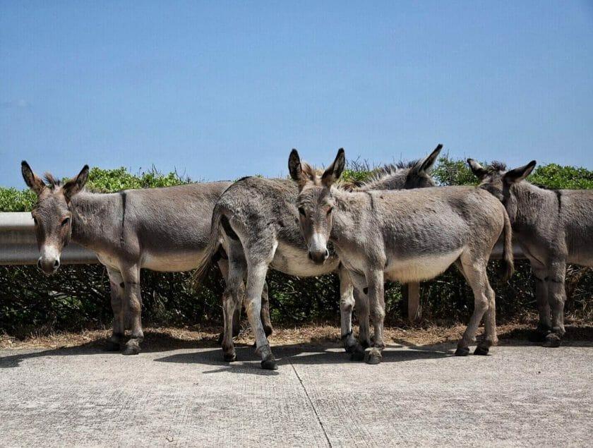 donkeys in Asinara