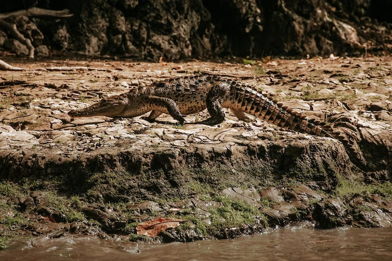 Canyon del Sumidero - crocodile